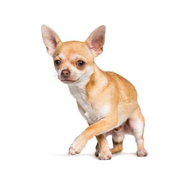 Chihuahua debout contre fond blanc