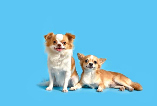 Chihuahua a deux chiens bruns sur bleu.