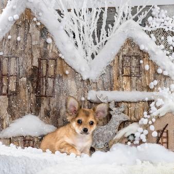 Chihuahua devant un décor de noël
