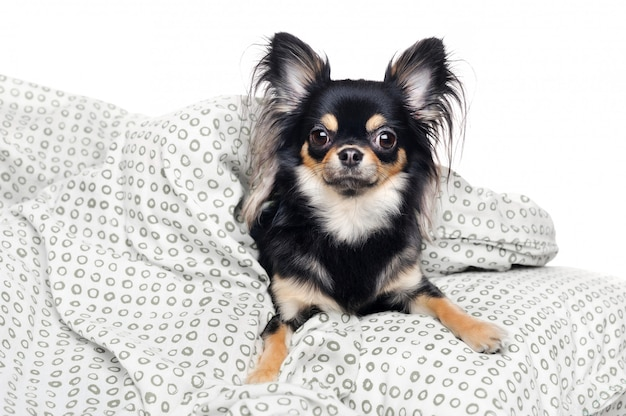 Chihuahua dormant au lit