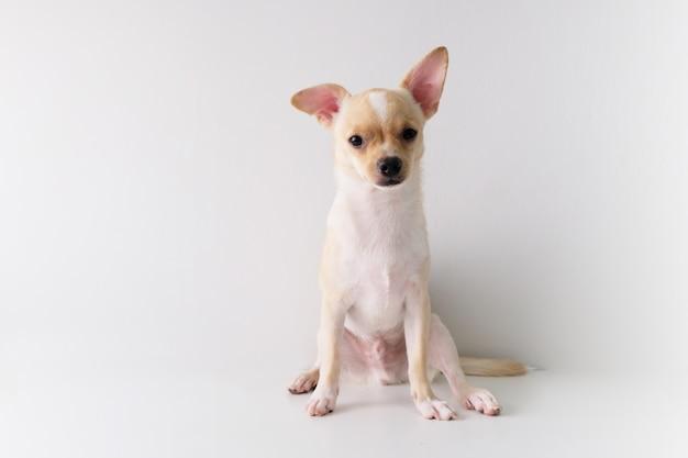 Le chihuahua est un sucre blanc de six mois sur fond blanc.