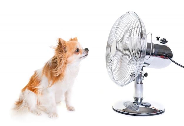 Chihuahua et fan