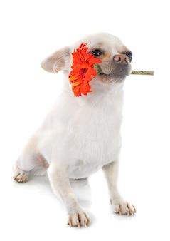 Chihuahua et fleur