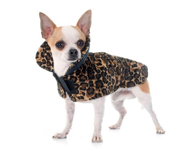Chihuahua habillé