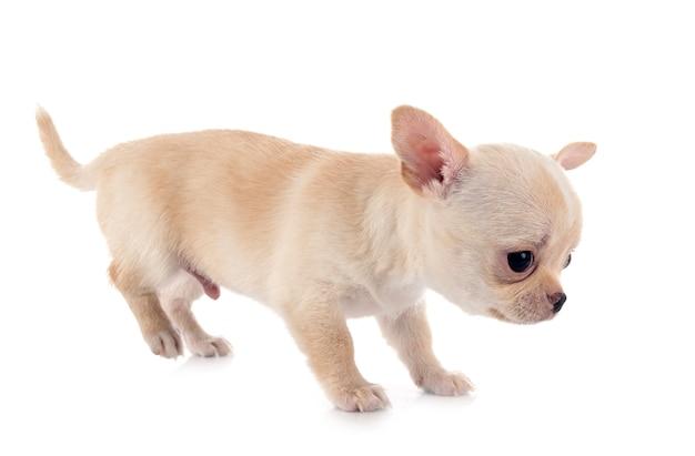Chihuahua isolé sur blanc