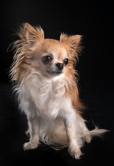 Chihuahua isolé