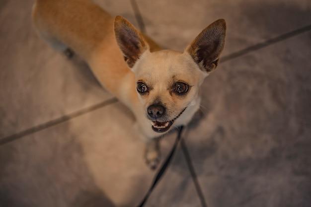 Chihuahua en laisse à l'intérieur