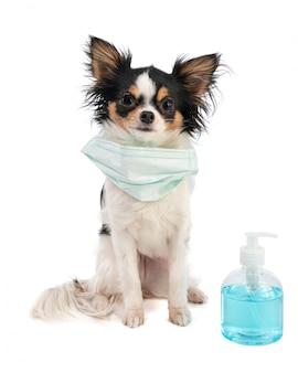 Chihuahua avec masque chirurgical et gel d'alcool