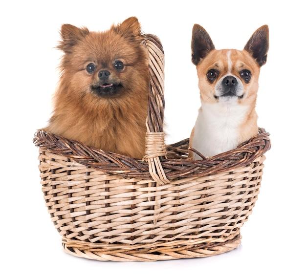 Chihuahua et pitz en studio