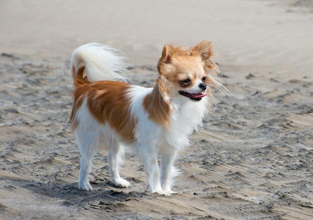 Chihuahua sur la plage