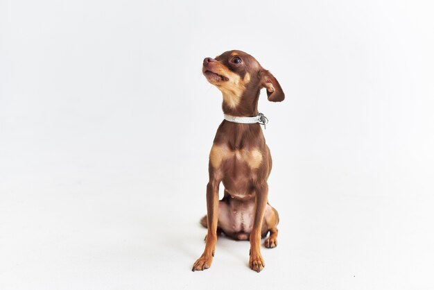 Chihuahua posant fond clair studio