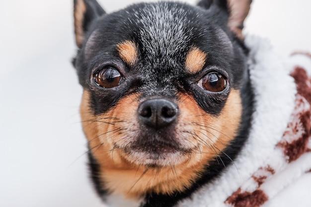Chihuahua de race pure lors d'une promenade en hiver en vêtements. portrait d'un chien noir. promenade hivernale.