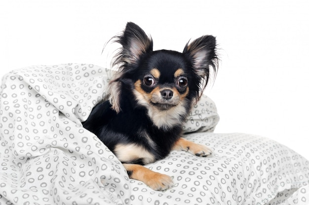 Chihuahua sous la couverture contre le mur blanc
