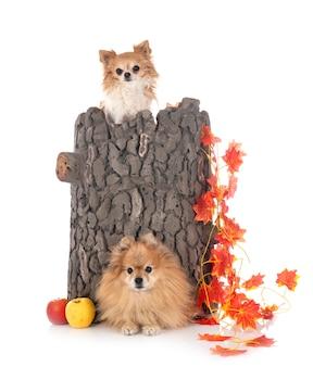 Chihuahua et spitz en studio