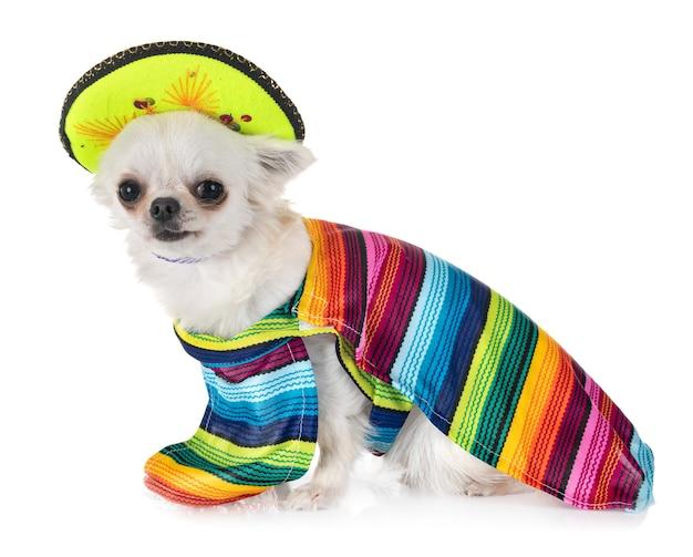 Chihuahua en studio
