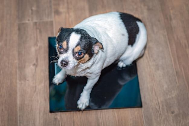 Un chihuahua en surpoids est assis sur une balance au sol.