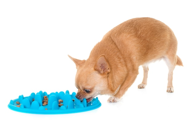 Chihuahua en train de manger