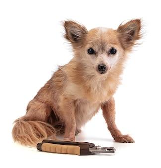 Chihuahua avec trop de longues griffes devant un coupe-ongles sur blanc