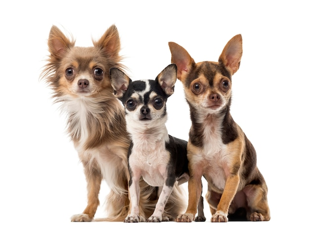 Chihuahuas assis devant un mur blanc