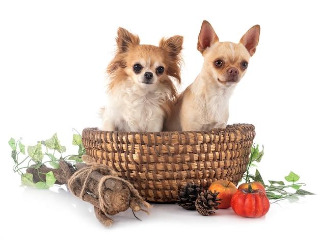 Chihuahuas sur blanc isolé