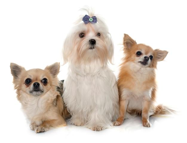 Chihuahuas et chien maltais