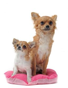 Chihuahuas chien