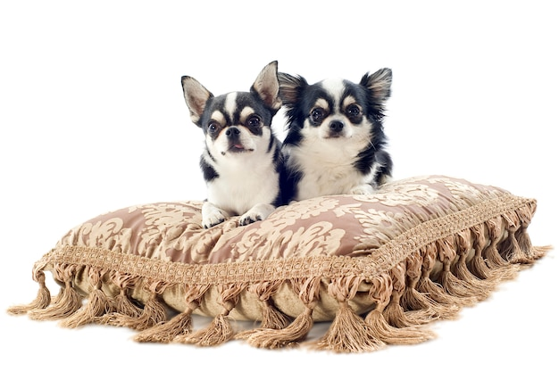 Chihuahuas sur coussin