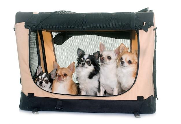 Chihuahuas dans un chenil de transport