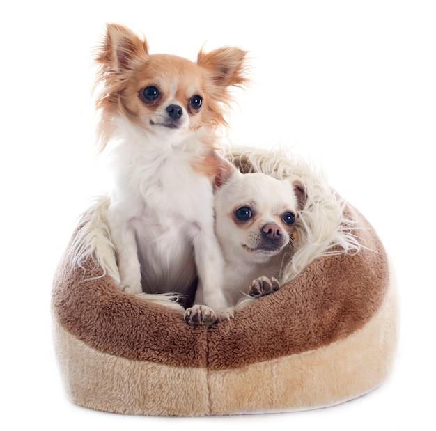 Chihuahuas dans un lit de chien