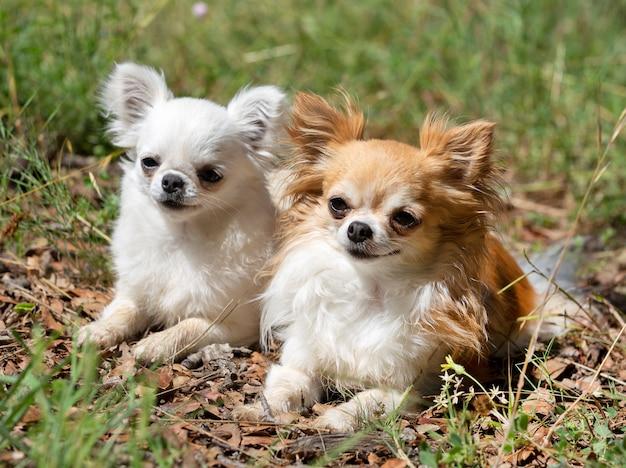 Chihuahuas dans la nature