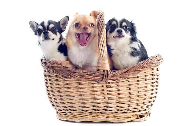 Chihuahuas dans le panier isolé