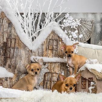 Chihuahuas devant un décor de noël