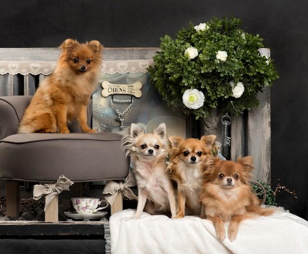 Chihuahuas devant un mur rustique