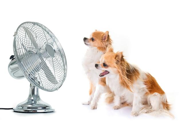 Chihuahuas et éventail