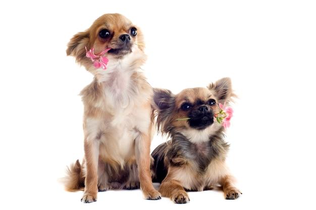 Chihuahuas et fleurs