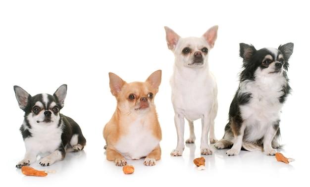 Chihuahuas et friandises