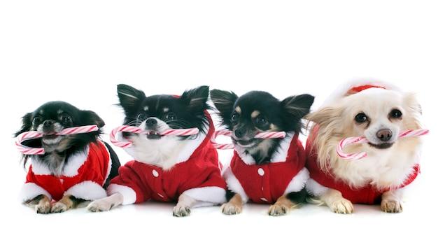 Chihuahuas habillés