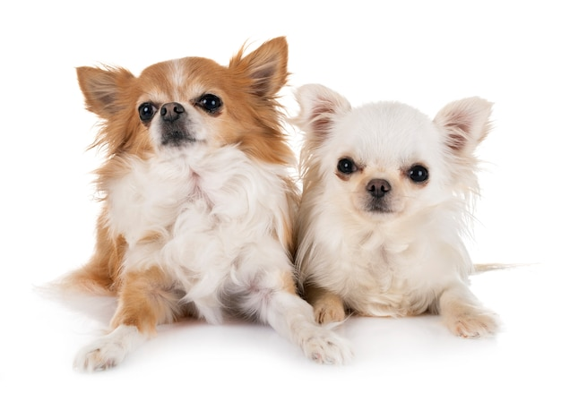 Chihuahuas isolé
