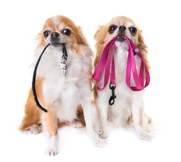 Chihuahuas et laisse