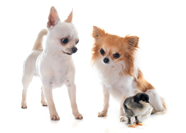 Chihuahuas et poussin