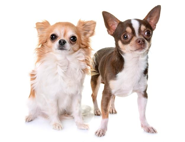 Chihuahuas en studio