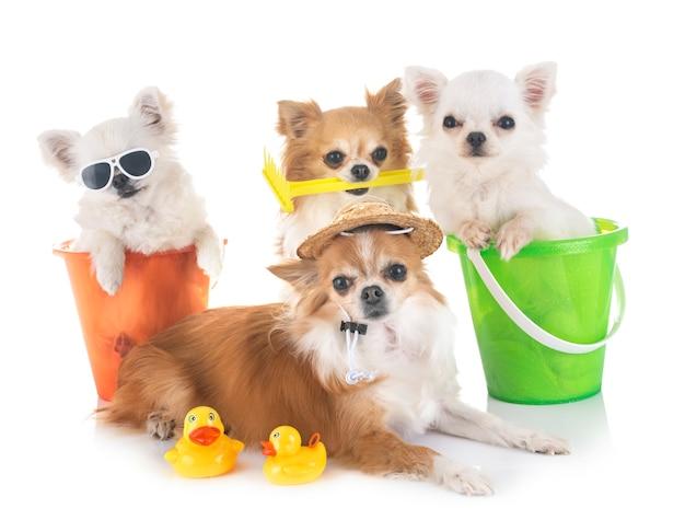 Chihuahuas en vacances