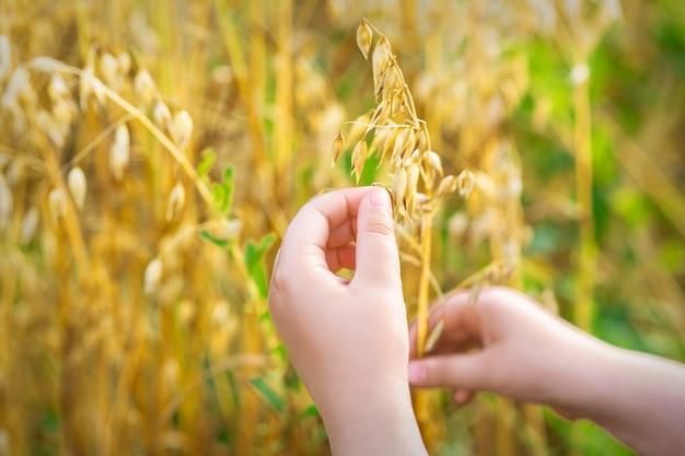 Childs main tenant les oreilles d'avoine