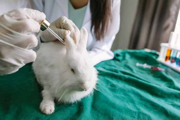 Les chimistes étudient et traitent les champignons dans les oreilles de lapin.