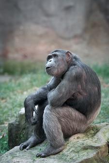 Chimpanzé adulte est assis sur un rocher à la surprise
