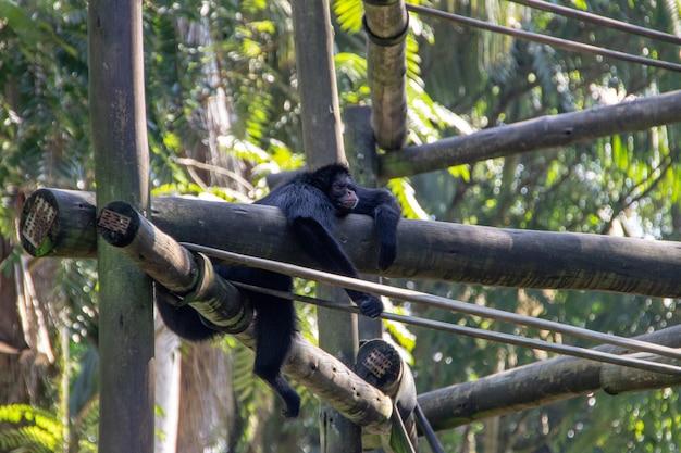 Chimpanzé au zoo de pomerode à santa catarina, brésil