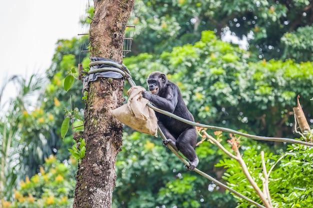 Chimpanzé sur corde avec un sac dans ses mains