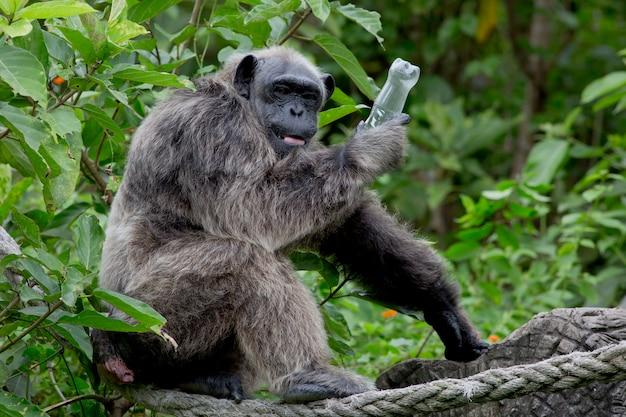 Chimpanzé drôle tenir une bouteille en plastique dans sa main. les chimpanzés ont peur que l'homme reprenne la bouteille.