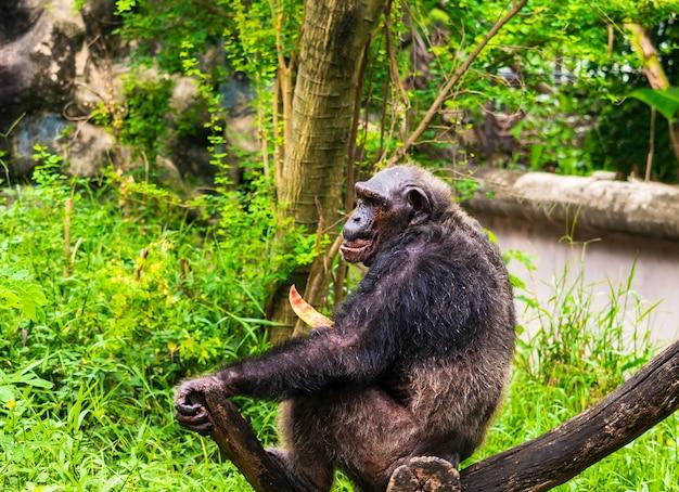 Le chimpanzé mange de délicieux fruits