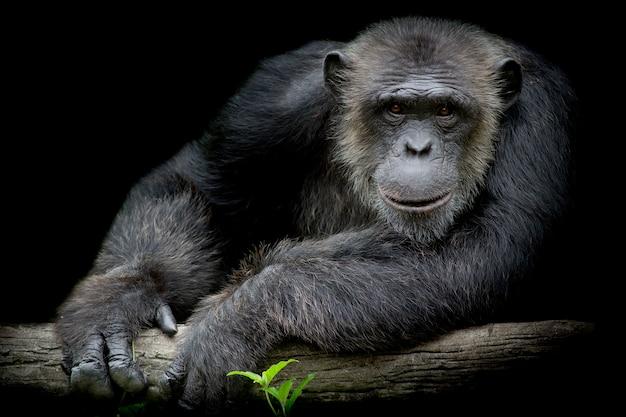 Un chimpanzé mignon sourit et attrape une grosse branche et regarde droit devant lui sur un fond noir